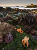 Starfish at Carmel Point at Low Tide Photographic Print by Douglas Steakley