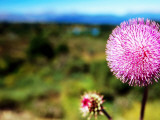 Wildflower Near Bariloche, Neuquen Photographic Print by Michael Taylor