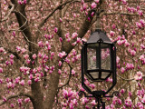 Detail of Lantern and Magnolias Blooming, City Hall Park, Lower Manhattan Photographic Print by Michelle Bennett
