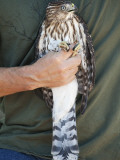 Prior to Release, Cooper's Hawk Is Displayed by Volunteer at Hawk Hill, Marin Headlands Photographic Print by Judy Bellah