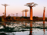 Baobab Trees (Adansonia Grandidieri Baobabs) Near Avenue Du Baobab Photographic Print by Olivier Cirendini
