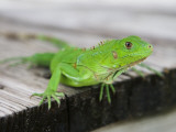 Green Iguana on Breakfast Table at Bucuti Beach Resort on Eagle Beach Photographic Print by Holger Leue