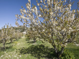 Cherry Trees Flowering in Springtime Photographic Print by Diego Lezama