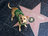 Little Dog Visiting Donald Duck's Star on Hollywood Walk of Fame Photographic Print by Christina Lease