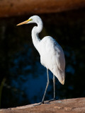 Great Egret on Gibb River Photographic Print by Kerry Lorimer