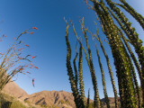 Ocotillo Cactus Photographic Print by Carol Polich