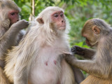 Macaques Monkeys (Rhesus Macaques) Grooming, Dhikala Photographic Print by Grant Dixon