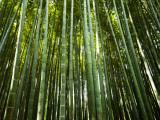 Bamboo Forest, Arashiyama-Sagano District Fotografisk tryk af Greg Elms