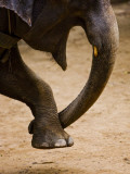 Elephant Forming Heart with His Trunk and Leg at Maesa Elephant Camp Fotodruck von Felix Hug