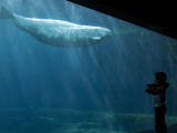 Boy Watching Beluga Whale at Vancouver Aquarium Photographic Print by Christopher Herwig