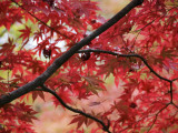Maple Tree in Autumn Colours, Arishiyama District Photographic Print by Gerard Walker