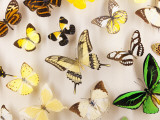 Exotic Butterfly Specimens on Display at Audubon Insectarium on Canal Street Photographic Print by Judy Bellah