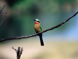 Little Bee Eater Sits on a Branch Photographie par Frans Lemmens