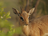 Dik-Dik Photographic Print by Carol Polich