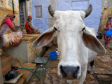 Cow on Street Inside Fort Walls Photographic Print by Johnny Haglund