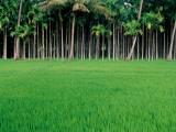 Rice Field with Betel Nut Trees in Background Photographic Print by Kevin Clogstoun