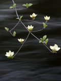 Dogwood Blossom Above the Merced River Photographic Print by Douglas Steakley