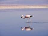 Andean Flamingo (Phoenicopterus Andinus) in Water Photographic Print by John Elk III