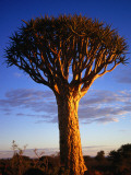 The Distinctive Kokerbooms or Quivertree (Aloe Dichotoma) Photographic Print by David Wall