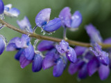 Close-Up of Lupine Photographic Print by Douglas Steakley