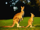 Kangaroo and Joey Photographic Print by John Banagan