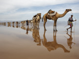 Hundreds of Camels Coming to Lake Asele to Collect Salt Block Photographic Print by Johnny Haglund
