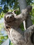 Sloth Living in Parque Centenario Fotoprint van Margie Politzer