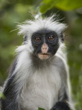 Young Zanzibar Colobus Monkey Photographic Print by Douglas Steakley
