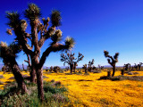 Joshua Trees and Spring Wildflowers Near Mojave Photographic Print by Douglas Steakley