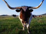 Texas Longhorn Cattle Photographic Print by John Elk III