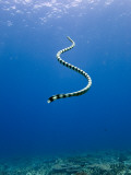 Banded Sea Snake from Rear Photographic Print by Johnny Haglund