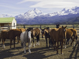 Horses in Corral at Estancia Cristina, Lago Argentino Reproduction photographique par Grant Dixon