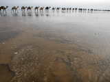 Hundreds of Camels Coming in to Lake Asele to Collect Salt Blocks Photographic Print by Johnny Haglund