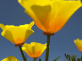 Yellow California Poppies (Eschscholzia Californica) Photographic Print by Emily Riddell
