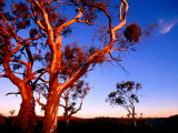 Roadside Gum Trees, Carrieton Photographie par Ian Connellan