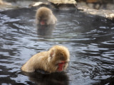 Snow Monkeys (Japanese Macaque) in Jigokudani Yaen-Koen Hot Spring Photographic Print by Frank Carter