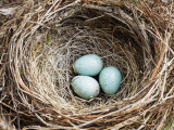 Nest and Eggs of Common Blackbird (Turdus Merula) Papier Photo par Grant Dixon