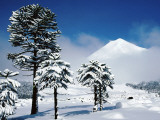 Araucaria (Monkey Puzzle) Trees in Snow Below Volcan Llaima, La Aracucania Region Photographic Print by Grant Dixon