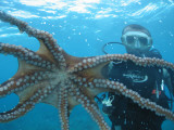 Diver Looking at Octopus at Blue Safari Submarine Photographic Print by Holger Leue
