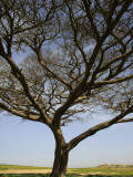 Acacia Raddiana Tree by Besor Scenic Road Photographic Print by Hanan Isachar