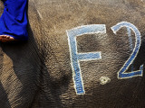 Chalk Drawn Number on Elephant Hide at Elephant Polo King&#39;s Cup Photographic Print by Felix Hug