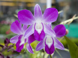 Flowering Orchid Photographic Print by Holger Leue