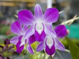 Flowering Orchid Fotografiskt tryck av Holger Leue
