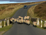 Sheep on Road, North York Moors National Park Photographic Print by Doug McKinlay