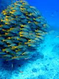 Johnny Haglund - School of Colourful Fish in Blue Waters Off Isla De Cano - Fotografik Baskı