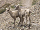 Young Mountain Goats Photographic Print by Douglas Steakley