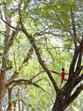 Keeper Climbing Tree at Masae Elephant Camp Lámina fotográfica por Felix Hug