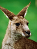 Portrait of an Eastern Grey Kangaroo Photographic Print by Daniel Boag