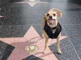 Little Dog Visiting John Travolta's Star on Hollywood Walk of Fame Photographic Print by Christina Lease