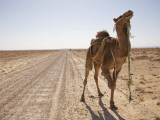 Camel in Desert Photographic Print by Christopher Herwig